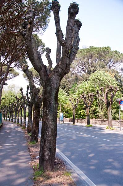 Pollarded trees. Montecatini Terme, Italy