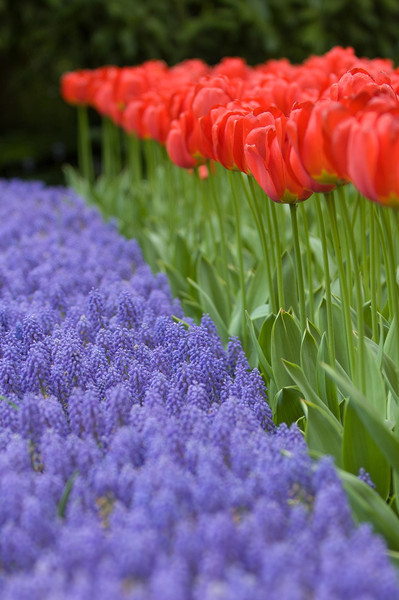 Blue Armeniacum and Red Ton Agustinus Tulips