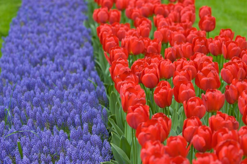 Blue Armeniacum and Red Ton Agustinus Tulips