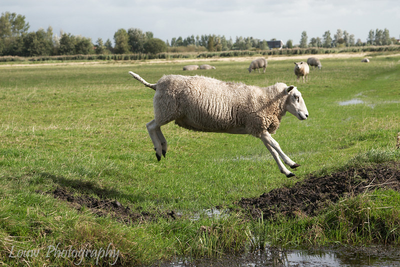 Jumping sheep at Zaanse Schans, Netherlands