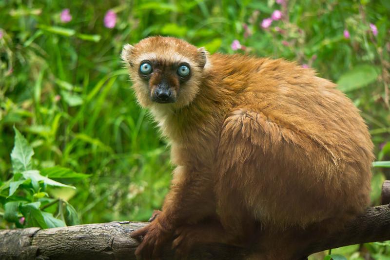 Female blue-eyed black lemur in Apenheul (Apeldoorn), Netherlands