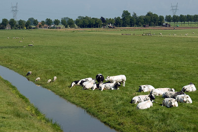 Animals on a farm land in Beemster Polder, Netherlands