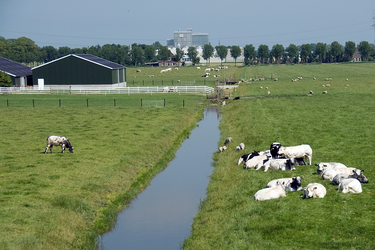 Lots of goats in a farm in Beemster Polder, Netherlands