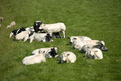 Herd of goats in the farm - Beemster Polder, Netherlands