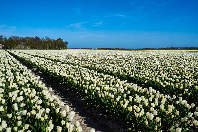 Tulip fields near Emmelord in the Netherlands