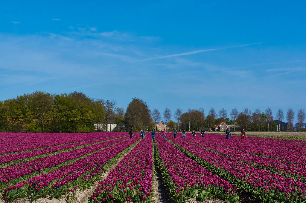 Visiting the tulip fields near Emmeloord in the Netherlands