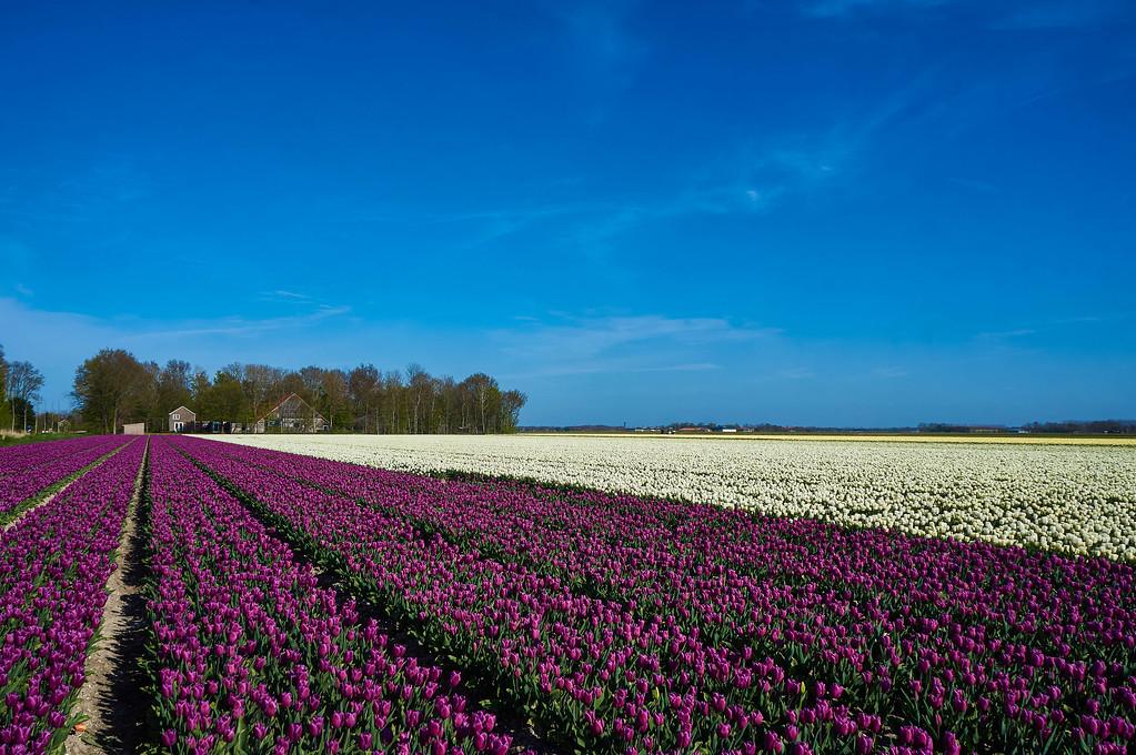 Tulip fields near Emmelord in the Netherlands