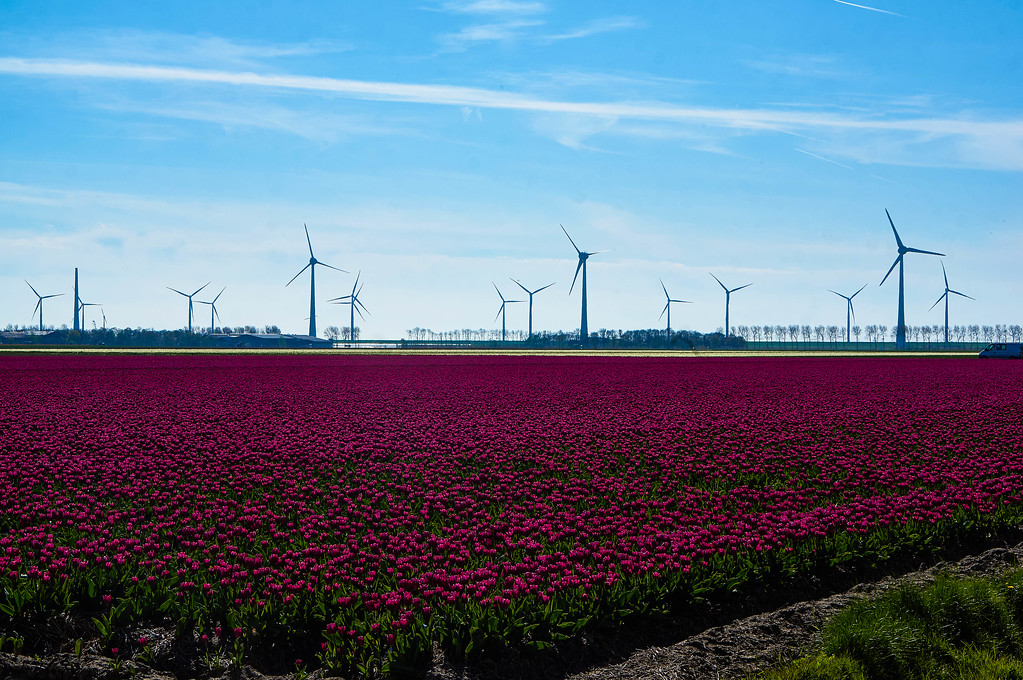 Purple tulips near Emmeloord in the Netherlands