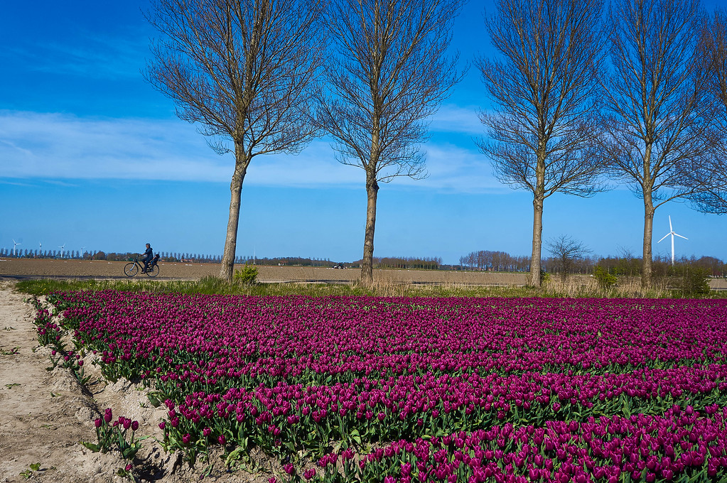 Cycling around the tulip fields near Emmeloord in the Netherlands