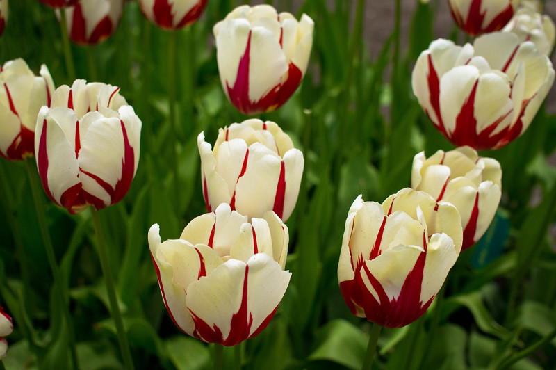 Tulips at the Keukenhof 2014 in the Netherlands