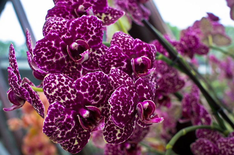 Orchids at the Keukenhof 2014 in the Netherlands