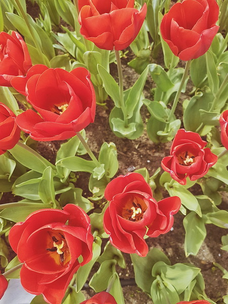 Red tulips at Madurodam in Den Haag, the Netherlands