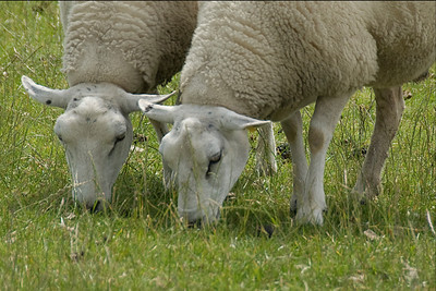 Close-up shot of two sheeps feeding on grass - Netherlands