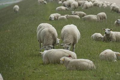 A flock of sheep feeding on grass in Netherlands