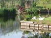 Kinderdijk - Swans and chick