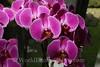 Keukenhof Gardens - Orchids 3