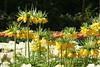 Keukenhof Gardens - Tulips 5