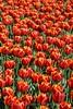 Keukenhof Gardens - Tulips 6