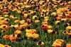 Keukenhof Gardens - Tulips 3