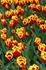 Keukenhof Gardens - Tulips 1