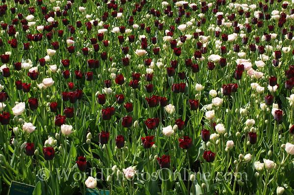 Keukenhof Gardens - Tulips 7