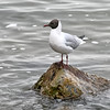 Black-headed Gull - Volendam