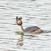 Great Crested Grebe - Volendam