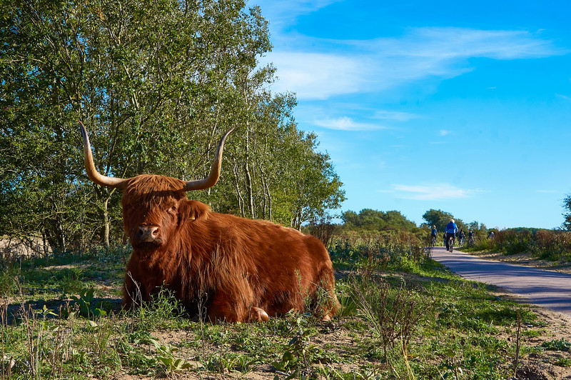 Highland cattel at the Zuid- Kennemerland National Park in the Netherlands