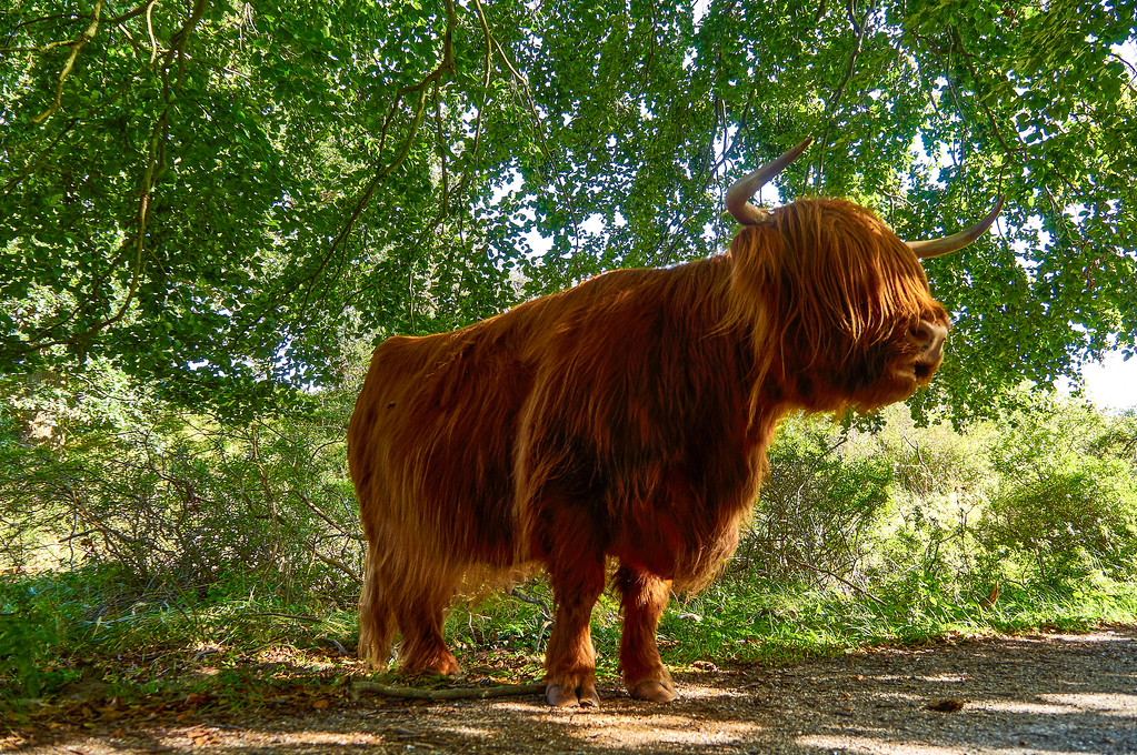 Highland cattle at the Zuid- Kennemerland National Park in the Netherlands