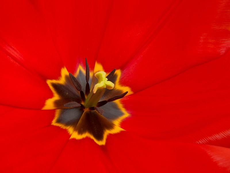 Tulip center #1