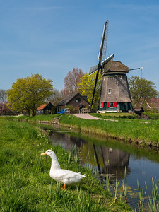 white duck and windmill Edam