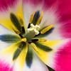 Tulip center #3