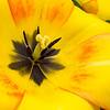 Tulip center #2