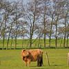 very hairy bull Marken