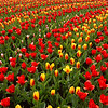 Tulip display in Keukenhof Garden