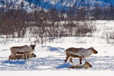 reindeer in Lyfjordsdalen