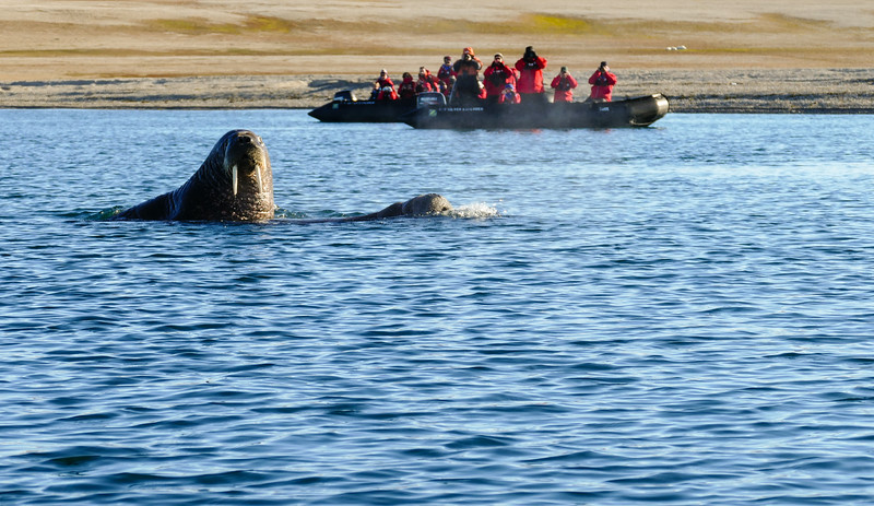 A walrus swims in front of a zodiac filled with cruise guests on a walrus watching tour in the Arctic Ocean.