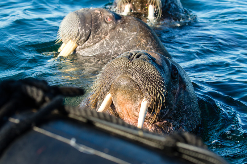 A walrus sticks his head onto the lip of a zodiac with two more walrus behind him.