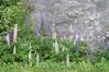 Sognefjord - Roadside Flowers