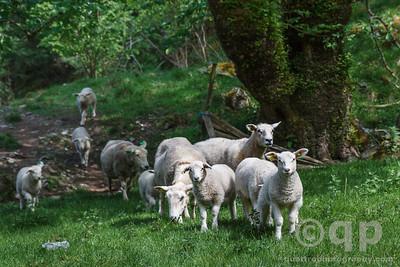 SHEEP ON A HIKE