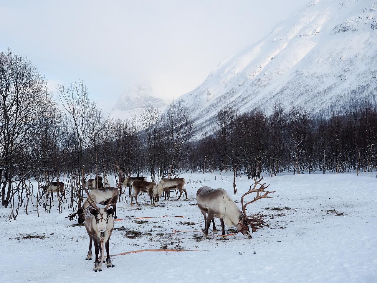 Reindeer at Lyngsfjord Adventures in Northern Norway
