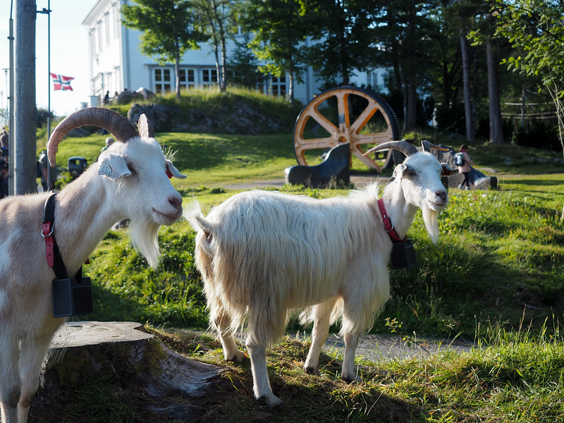 Goats on Mt. Floyen in Bergen