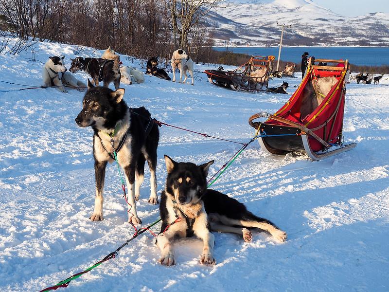 Sled dogs at Tromsø Villmarkssenter in Norway