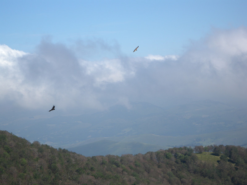 Gypaete, a type of vulture that is prevalent throughout the Pyrenees.
