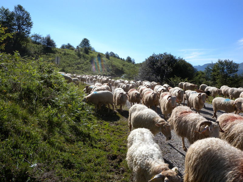 Herd of sheep on the way up to high pastures.