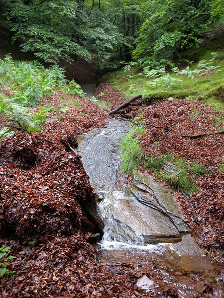 A small rivulet cutting its way through beech leaves.