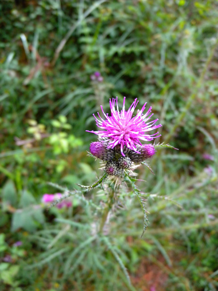 Scotch Thistle in Spain. Pretty here, a pest in Australia.