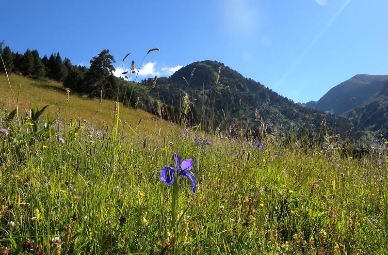 Iris near Refugi de Sorteny
