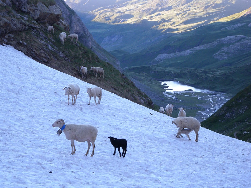Sheep on snow 2