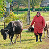 Ukrainian woman walking cows